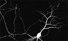 Spontaneous activity shapes neuron development