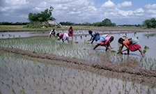 Rice paddy and rice farming