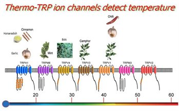 Thermo-TRP-ion-channels