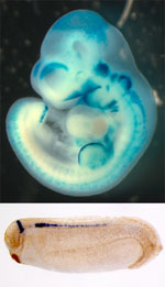 transgenic mouse (top) and tadpole (bottom)