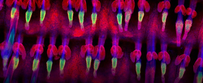 'Garden under the skin' Adult mouse epidermal wholemount (all three images) shows patterned arrangement of hair follicles in rows. Antibodies against Keratin 14 (red) was used to reveal epidermal basal layer, sebaceous glands and Keratin 15 (green) was us