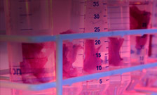 Pink tissues in test tube