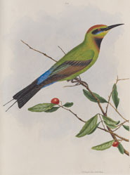 A bee-eater from 'A natural history of the birds of New South Wales' by John Lewin (1822)