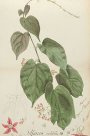 Watercolour of the plant 'Telfairia volubilis'. From 'Sketches of plants made at the Mauritius to accompany the report of May 1829' by John Newman