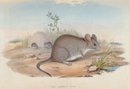 A group of mice feeding in the desert. From 'Narrative of an expedition into central Australia' by Charles Sturt (1839)