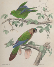 Two species of parrot sitting on branches