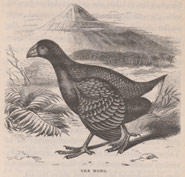 Black and white image of a bird called the Moho