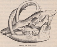 Black and white image of a skull of Babiroussa