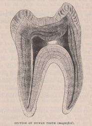 Black and white image showing a section of human tooth (magnified)