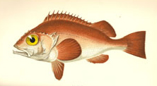 A fish from 'A history of the fishes of the British Islands'