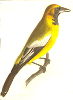 A bird from 'The zoological miscellany'