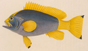 Illustration of a colourful fish from an 1841 work on the fishes of Ceylon