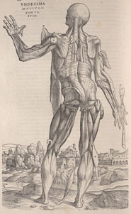 Woodcut of one of Vesalius' so-called 'muscle-men' exposing the structures under the skin