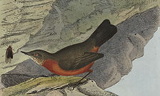 A rock warbler. From: John William Lewin. A natural history of the birds of New South Wales, 1822