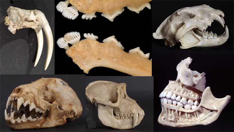 Whose gnashers? The form and function of mammalian teeth - Spotlight hero
