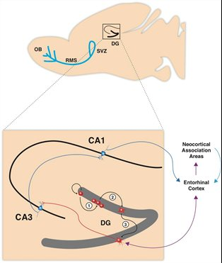 physiological and environmental modulation of Adult Hippocampal Neurogenesis