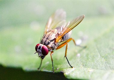 fruit-fly