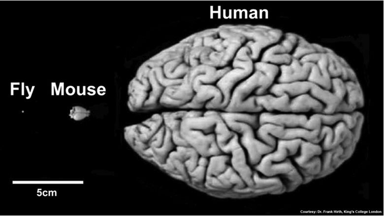 Humans and flies employ very similar mechanisms for brain development and function