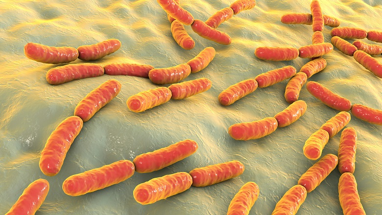 lactic acid bacteria in the gut