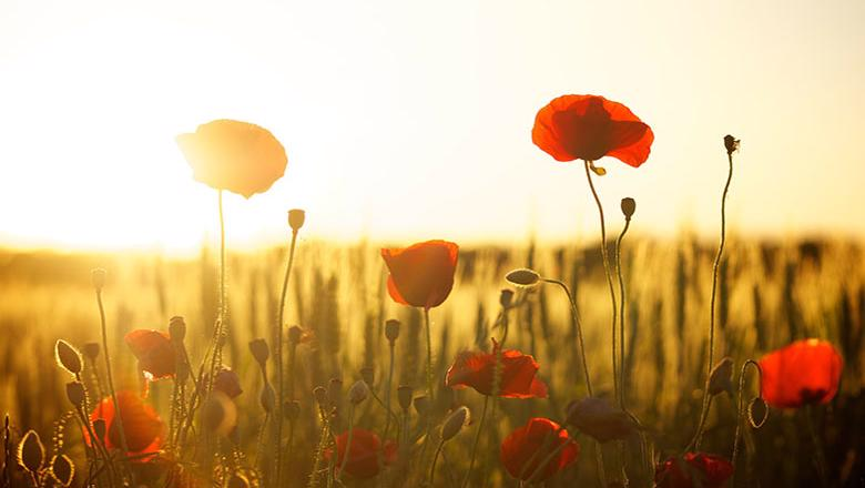 A field of poppies backlit by the sun